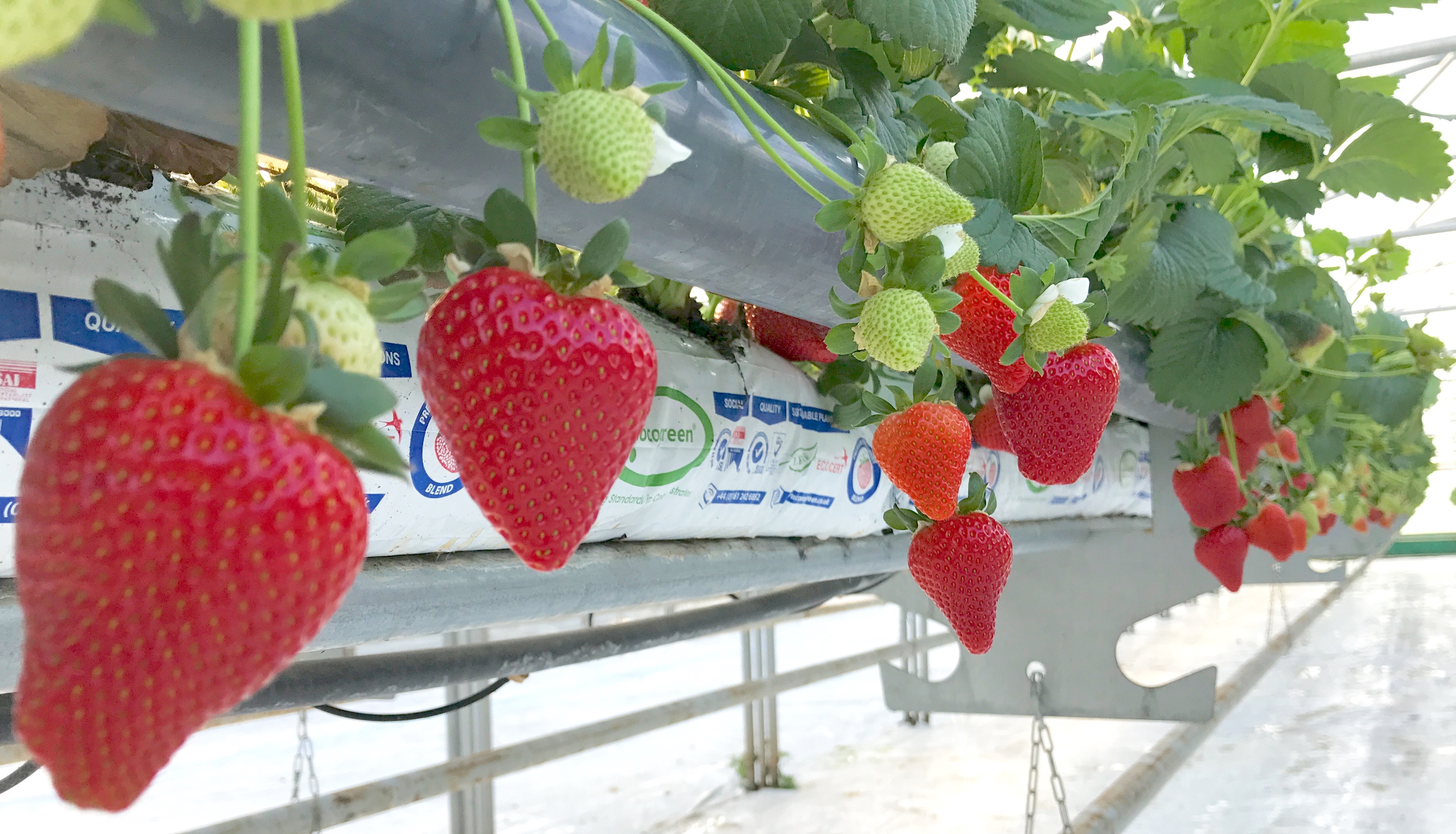 Picture - Our Strawberries